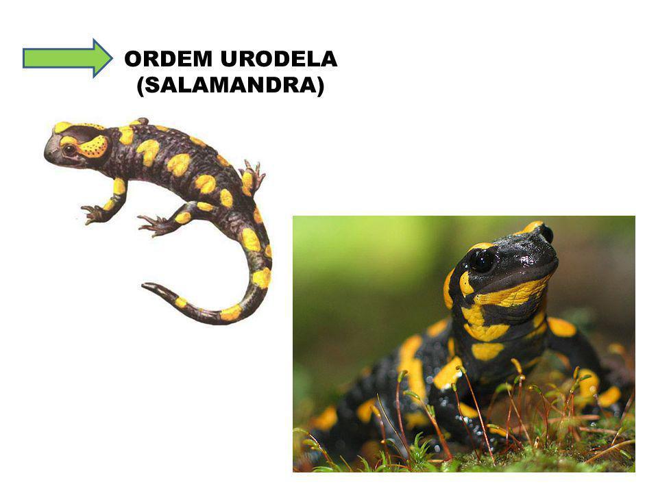 ORDEM URODELA (SALAMANDRA)