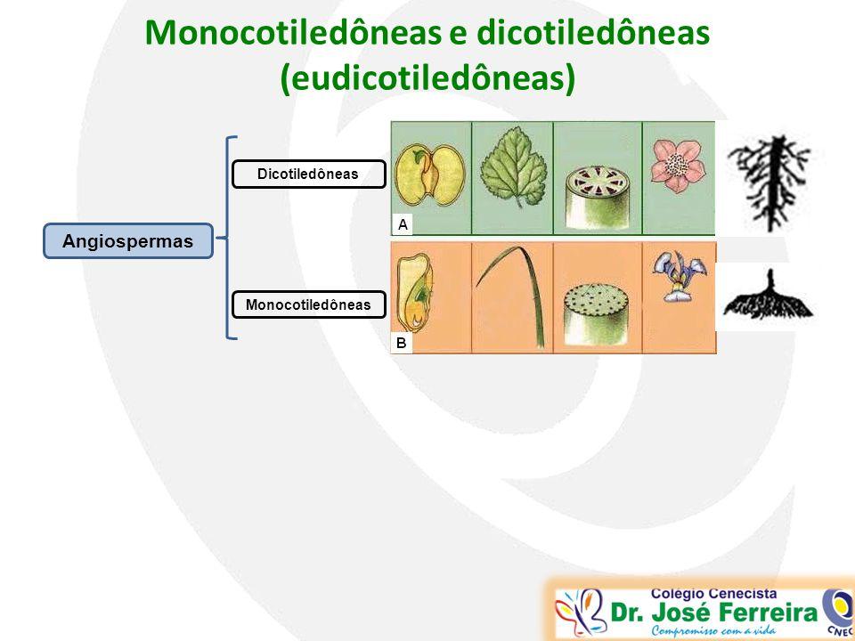 Monocotiledôneas e dicotiledôneas (eudicotiledôneas)
