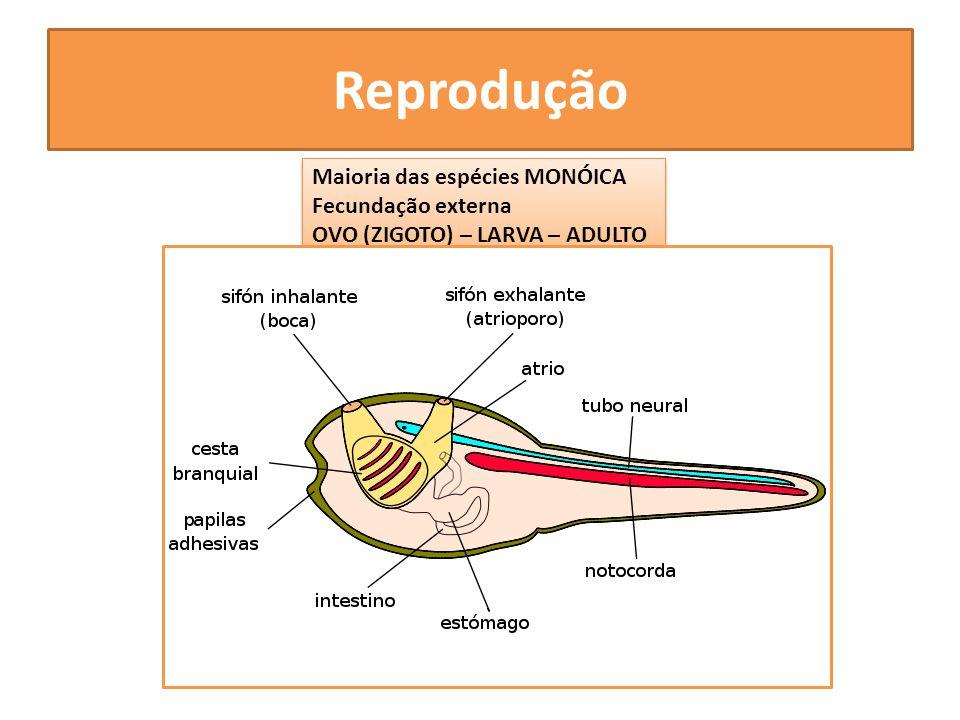 Reprodução Maioria das espécies MONÓICA Fecundação externa