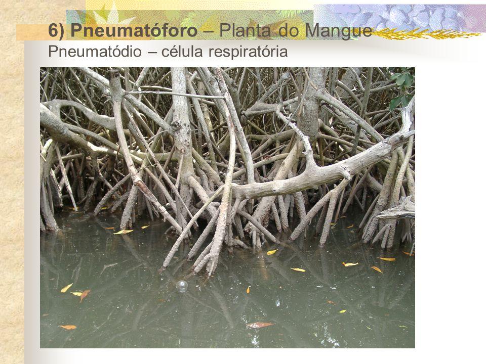 6) Pneumatóforo – Planta do Mangue