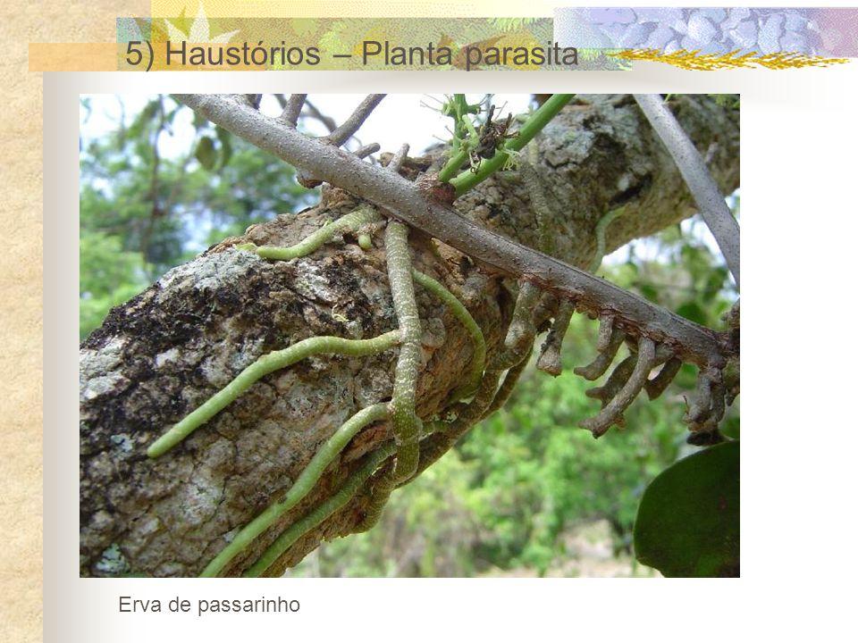 5) Haustórios – Planta parasita