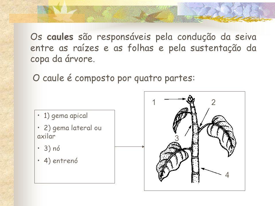 O caule é composto por quatro partes:
