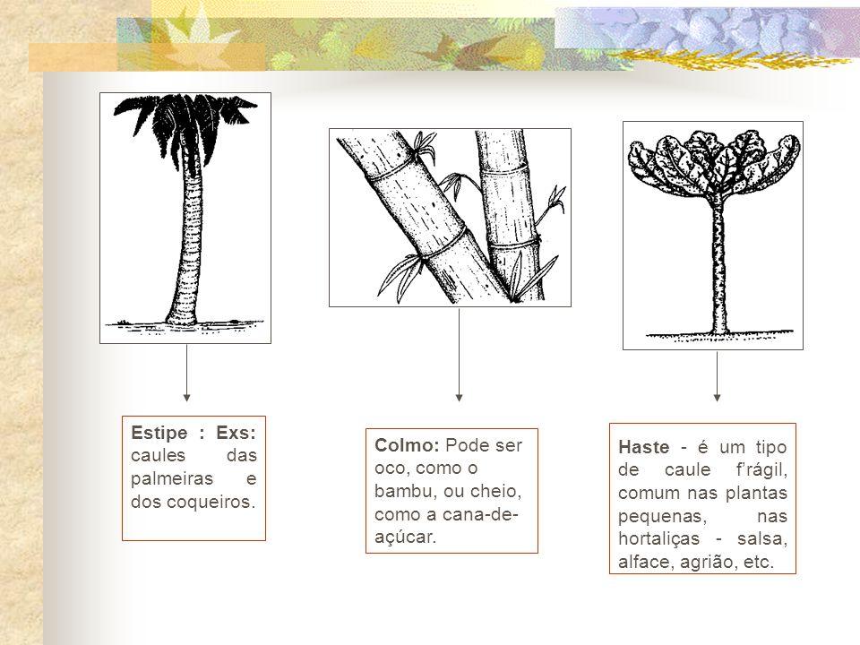 Estipe : Exs: caules das palmeiras e dos coqueiros.