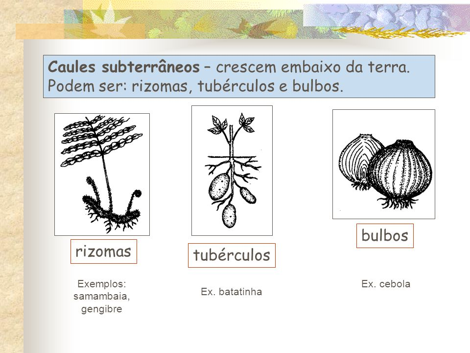 Exemplos: samambaia, gengibre