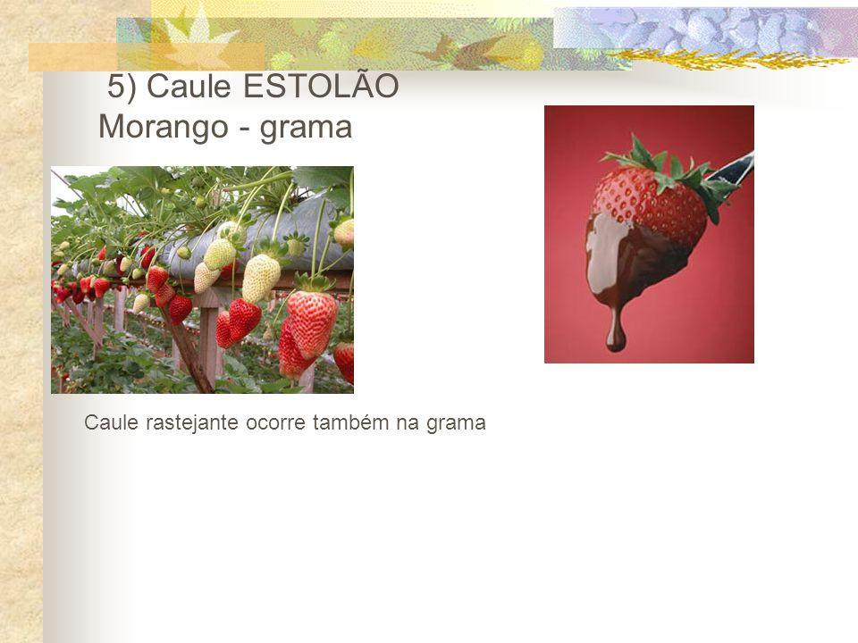 5) Caule ESTOLÃO Morango - grama