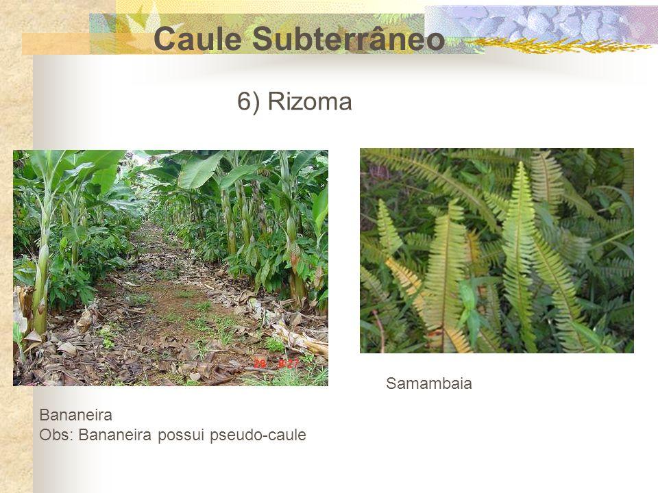 Caule Subterrâneo 6) Rizoma Samambaia Bananeira