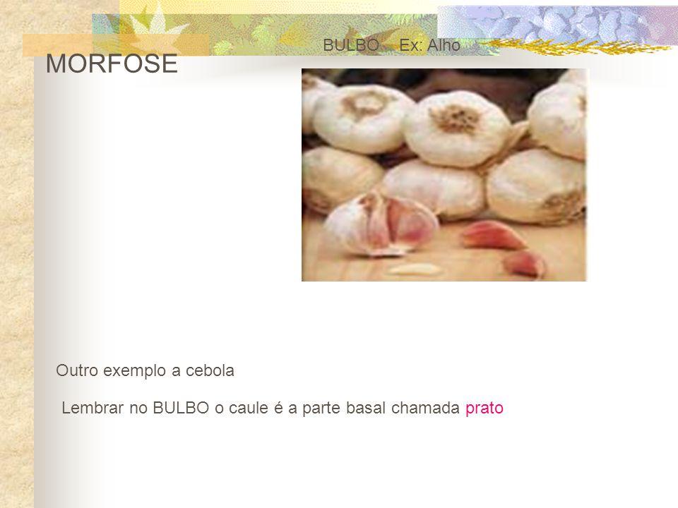MORFOSE BULBO Ex: Alho Outro exemplo a cebola