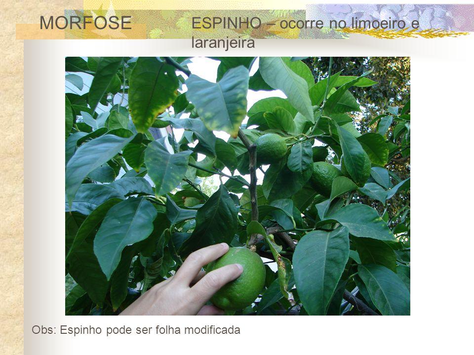 MORFOSE ESPINHO – ocorre no limoeiro e laranjeira