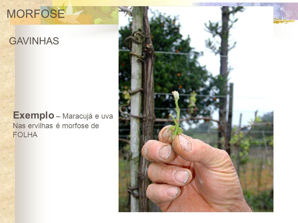 MORFOSE GAVINHAS Exemplo – Maracujá e uva Nas ervilhas é morfose de