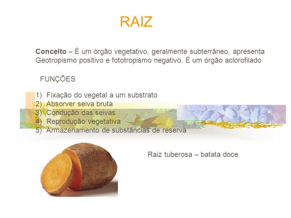 RAIZ Conceito – É um órgão vegetativo, geralmente subterrâneo, apresenta. Geotropismo positivo e fototropismo negativo. É um órgão aclorofilado.