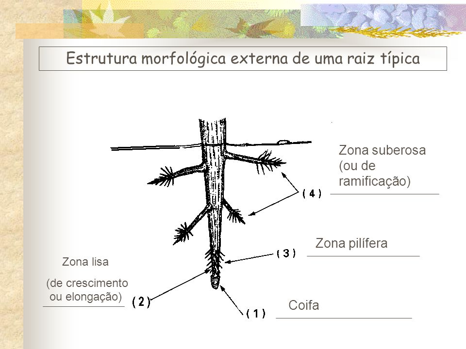 Estrutura morfológica externa de uma raiz típica