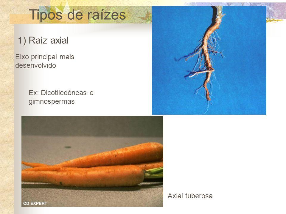 Tipos de raízes 1) Raiz axial Eixo principal mais desenvolvido