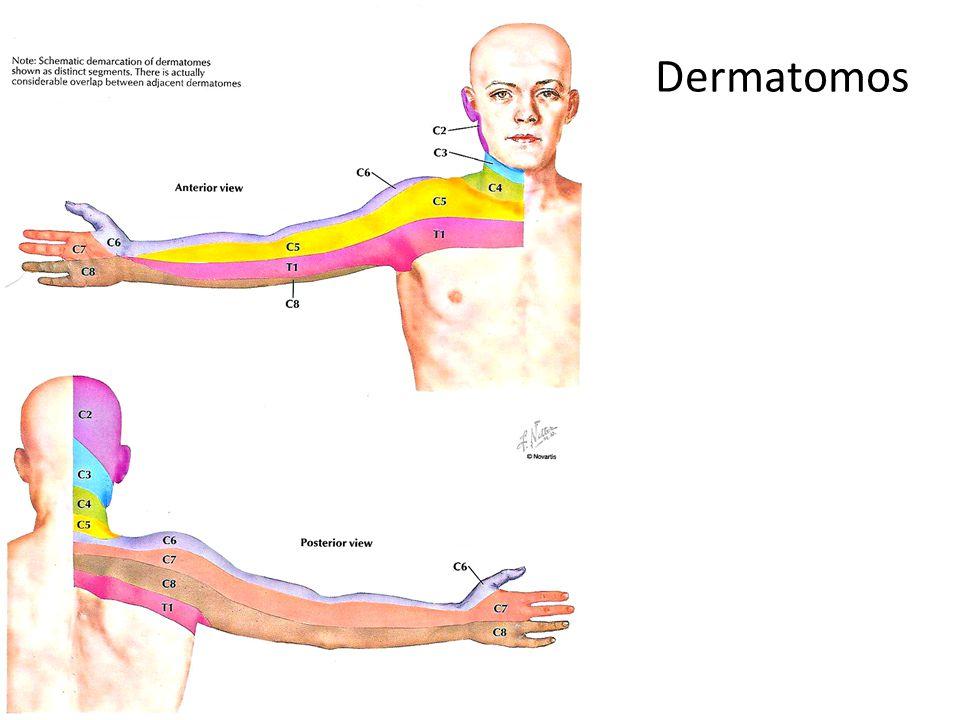 Dermatomos