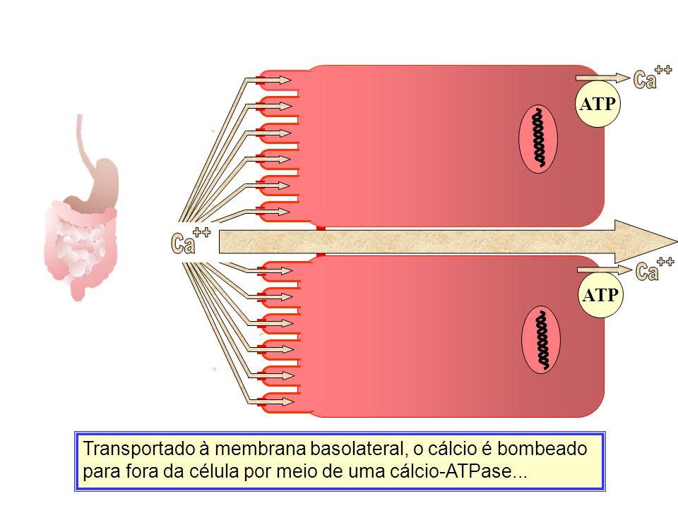 Ca ++ ATP. Ca. ++ Ca. Ca. Ca. ++ ATP.