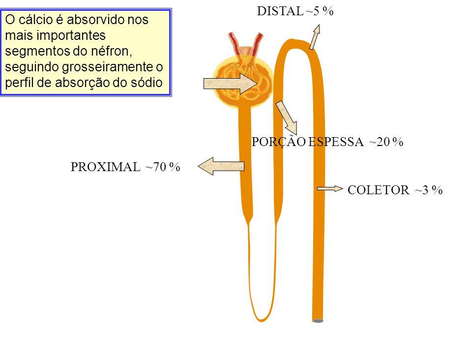 DISTAL ~5 % O cálcio é absorvido nos mais importantes segmentos do néfron, seguindo grosseiramente o perfil de absorção do sódio.