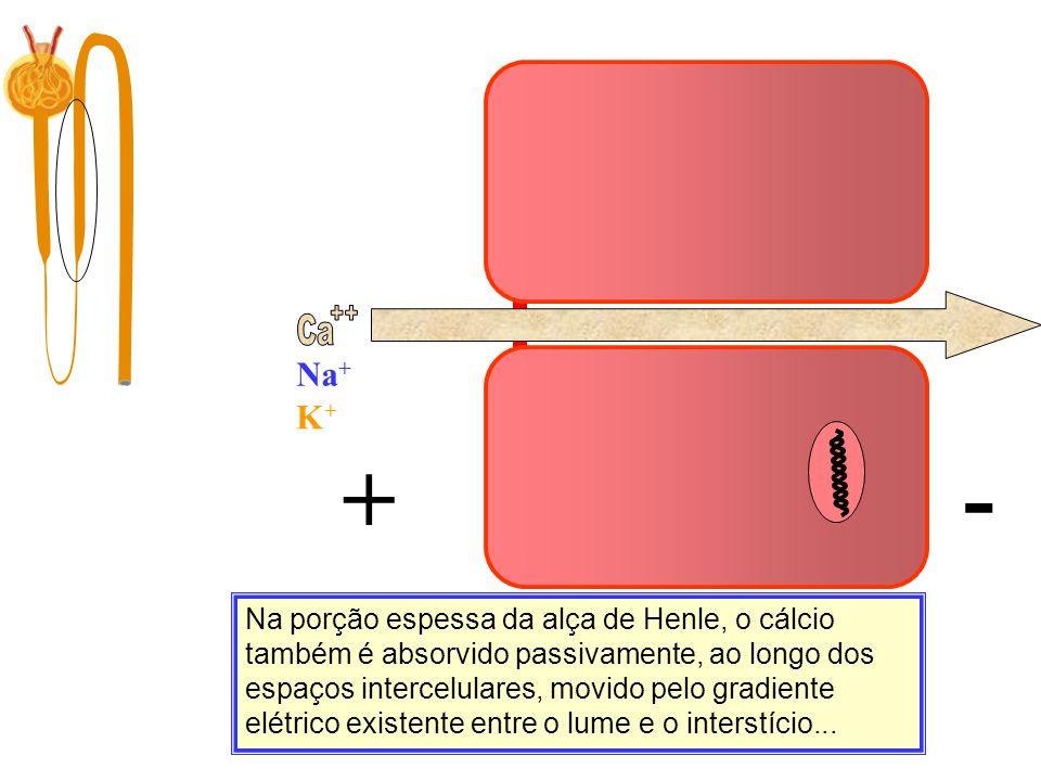 Ca ++ Na+ Ca. K+ Filtração. 10.000 mg/dia. + -