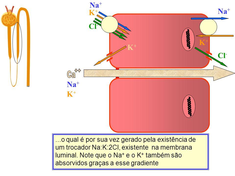 ++ Ca Na+ Na+ K+ Cl- K+ Na+ K+