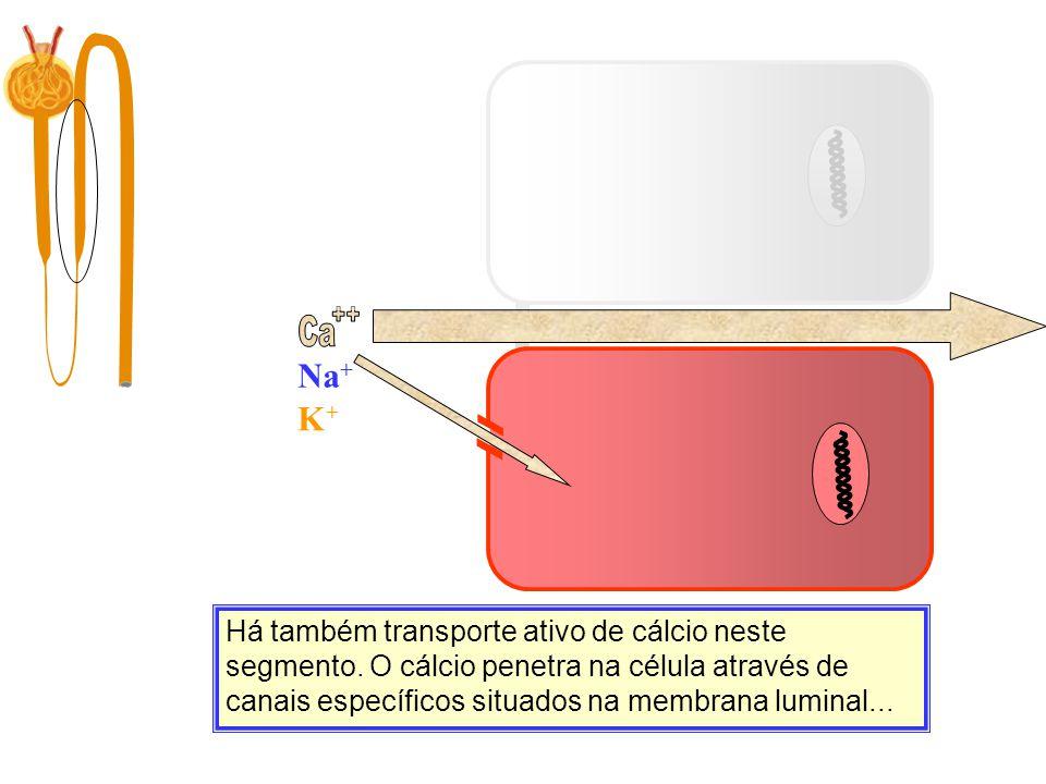 Ca ++ Na+ Ca. K+ Filtração. 10.000 mg/dia.