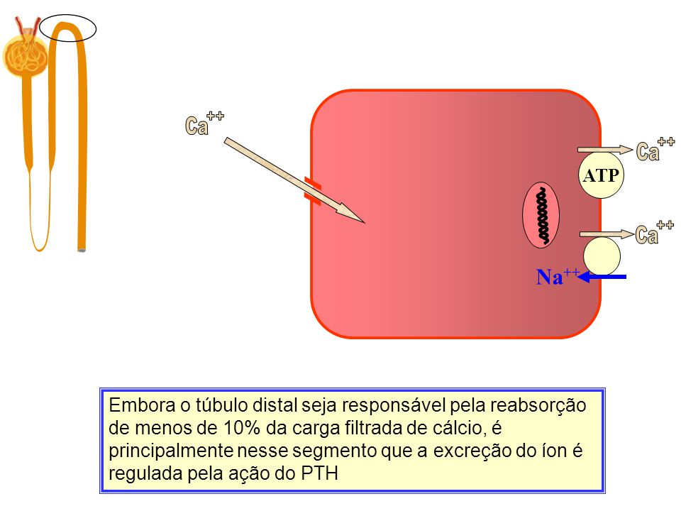 Ca ++ Ca. ++ ATP. Filtração. 10.000 mg/dia. Ca. ++ Na++