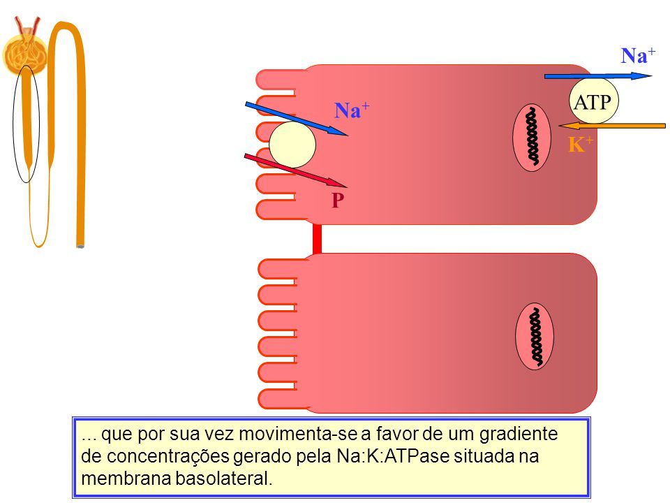 Na+ ATP. Na+ K+ P.