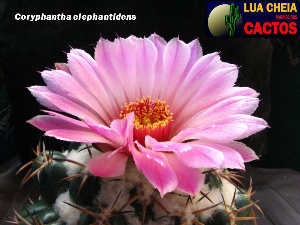 Coryphantha elephantidens