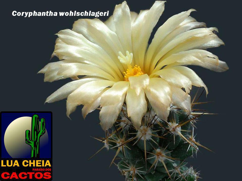 Coryphantha wohlschlageri