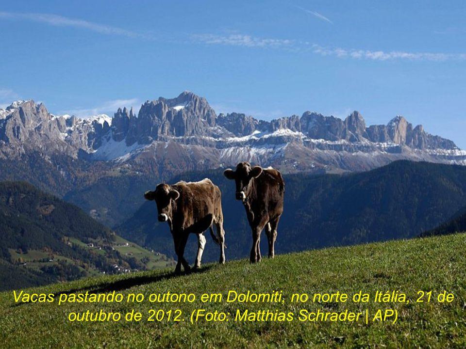 Vacas pastando no outono em Dolomiti, no norte da Itália, 21 de outubro de 2012.