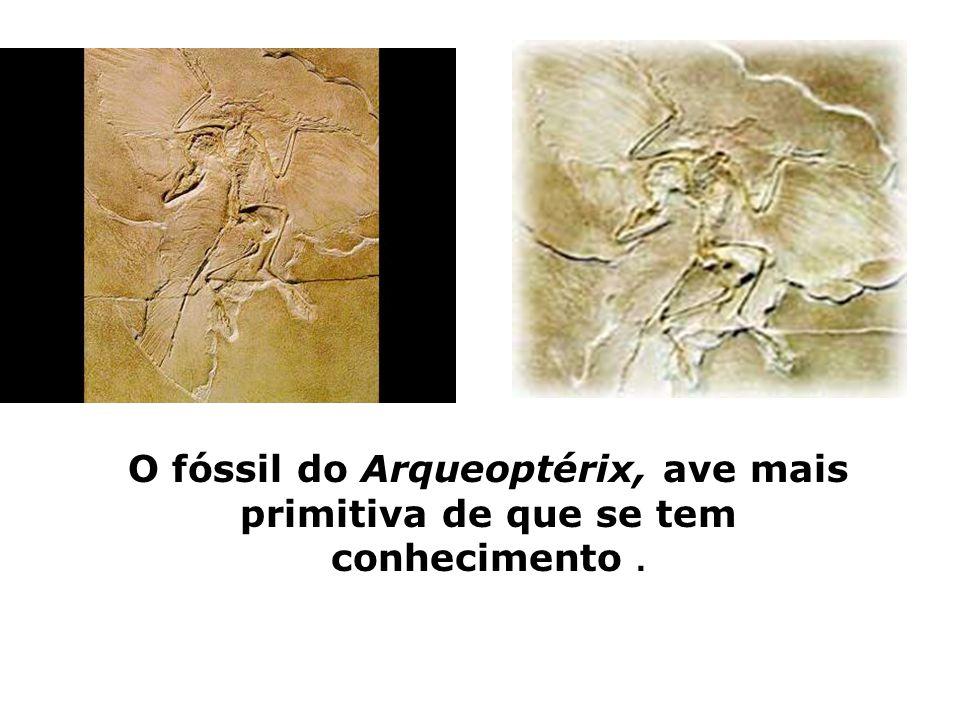 O fóssil do Arqueoptérix, ave mais primitiva de que se tem conhecimento .