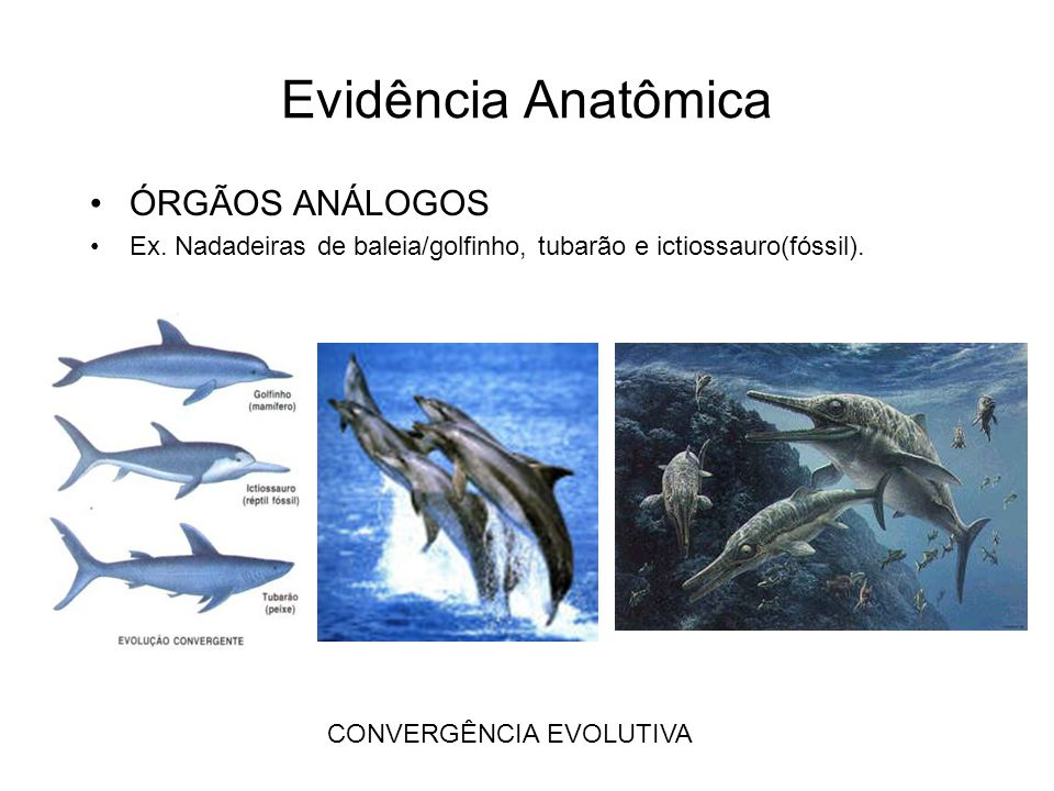 Evidência Anatômica ÓRGÃOS ANÁLOGOS