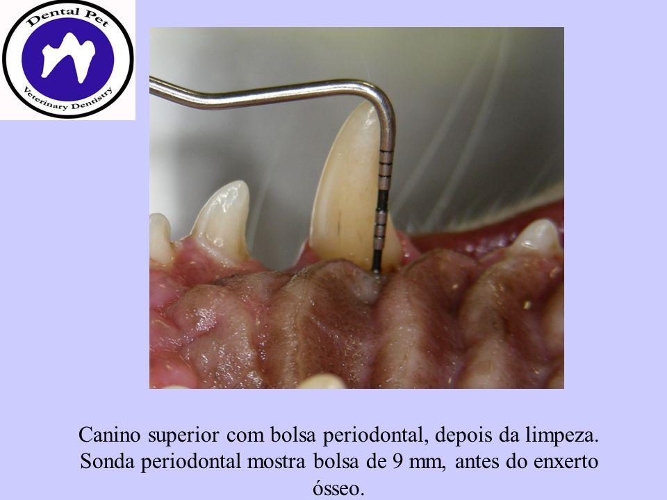 Canino superior com bolsa periodontal, depois da limpeza