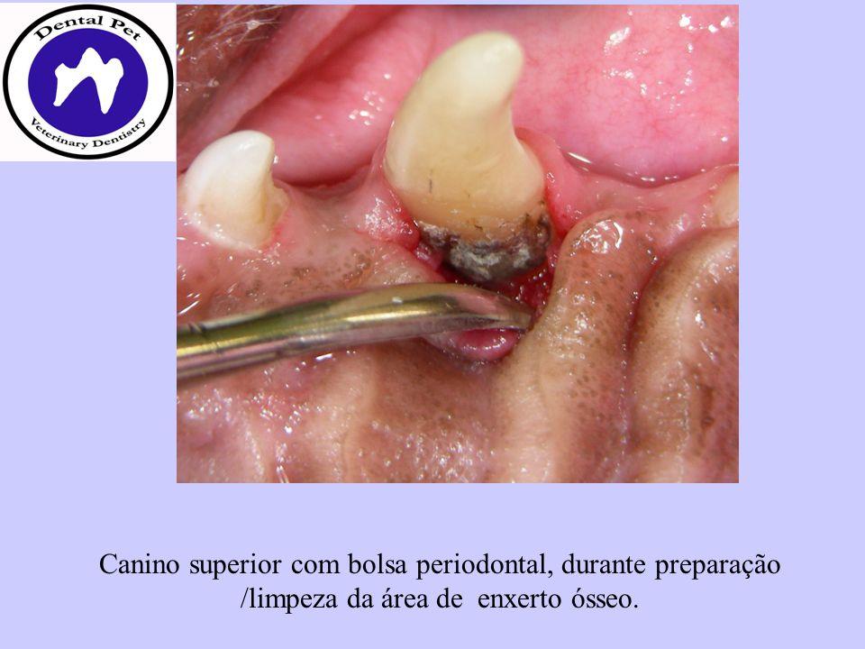 Canino superior com bolsa periodontal, durante preparação /limpeza da área de enxerto ósseo.