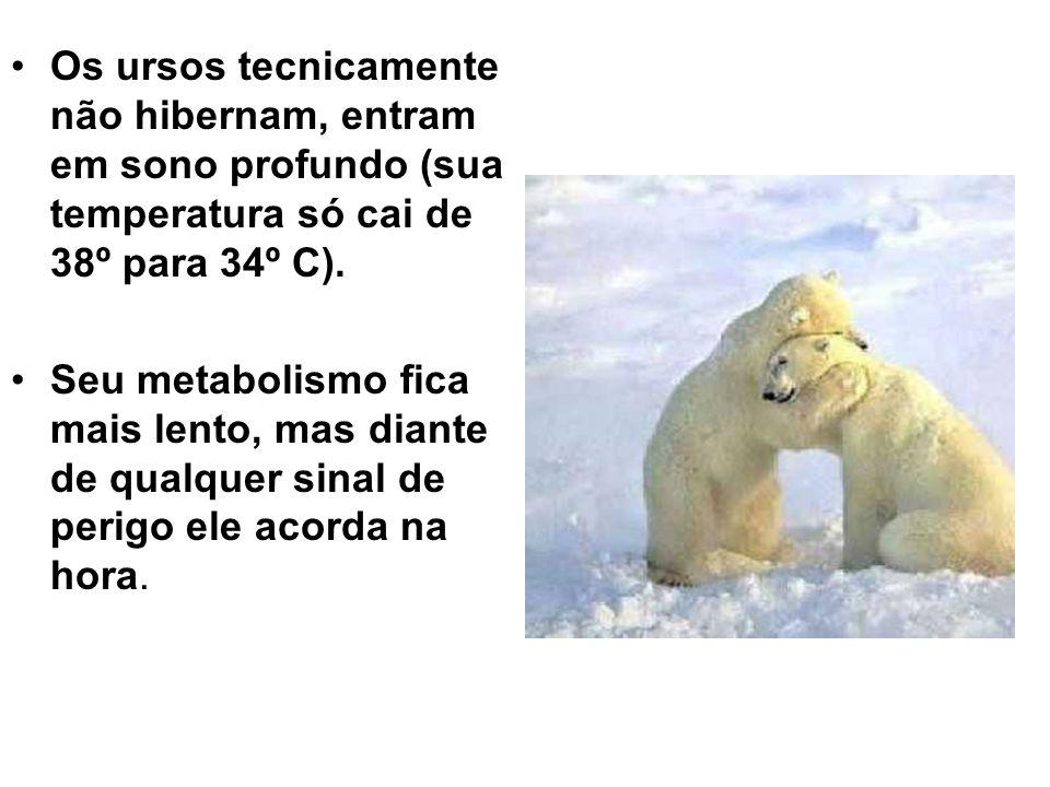 Os ursos tecnicamente não hibernam, entram em sono profundo (sua temperatura só cai de 38º para 34º C).