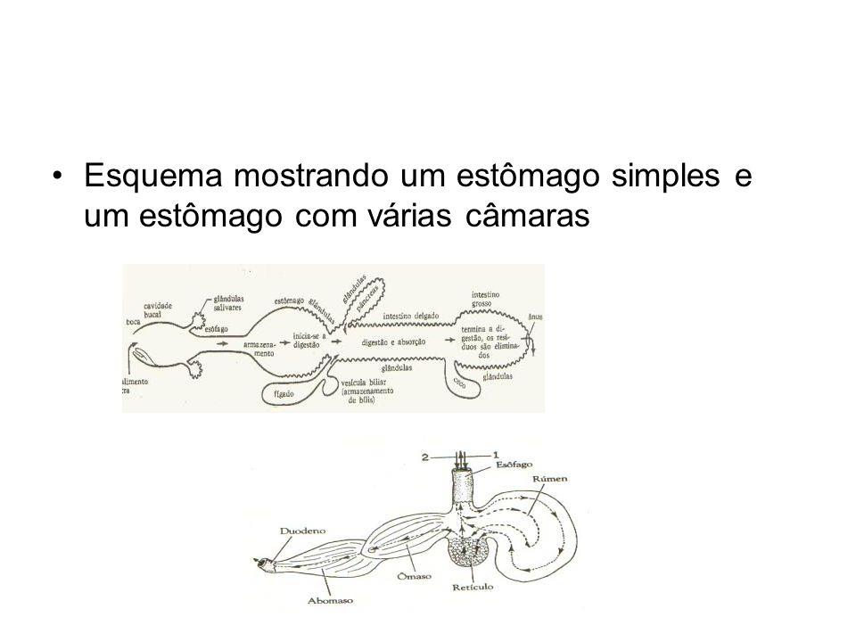 Esquema mostrando um estômago simples e um estômago com várias câmaras