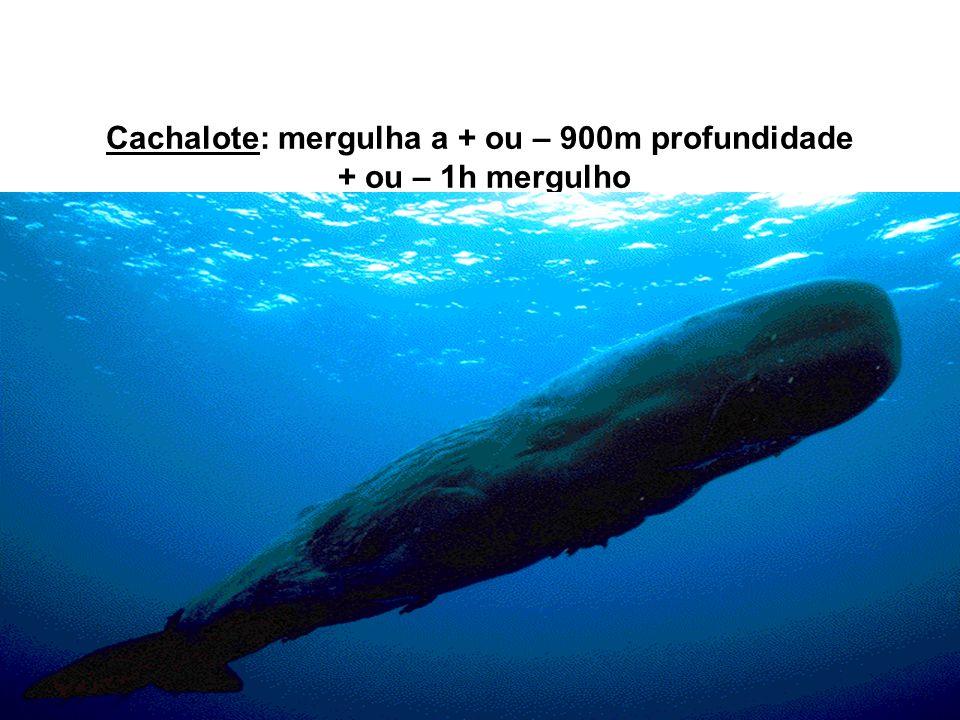 Cachalote: mergulha a + ou – 900m profundidade + ou – 1h mergulho