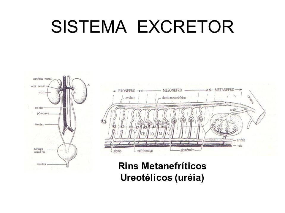 SISTEMA EXCRETOR Rins Metanefríticos Ureotélicos (uréia)