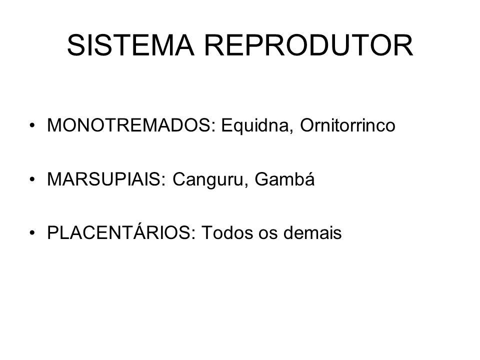 SISTEMA REPRODUTOR MONOTREMADOS: Equidna, Ornitorrinco
