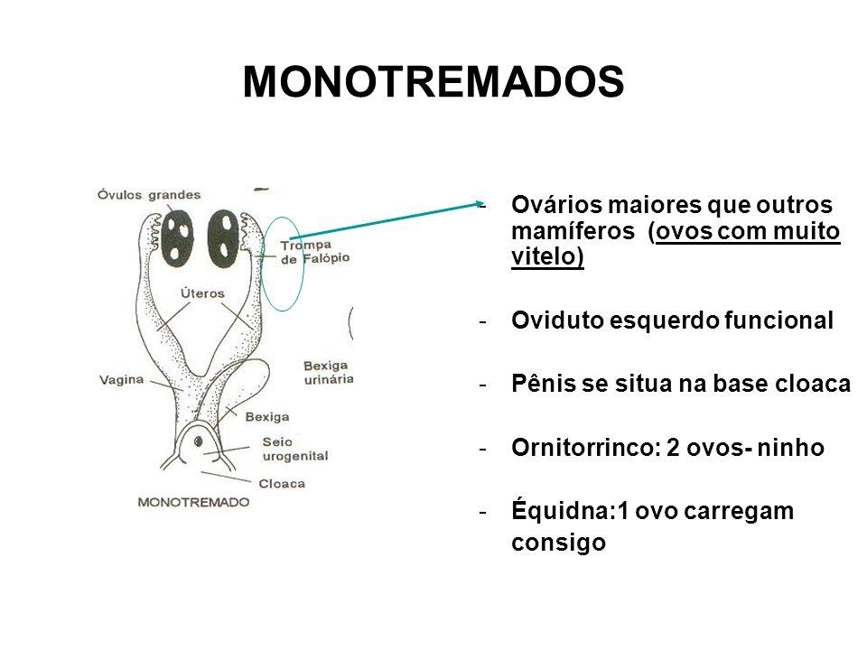 MONOTREMADOS Ovários maiores que outros mamíferos (ovos com muito vitelo) Oviduto esquerdo funcional.