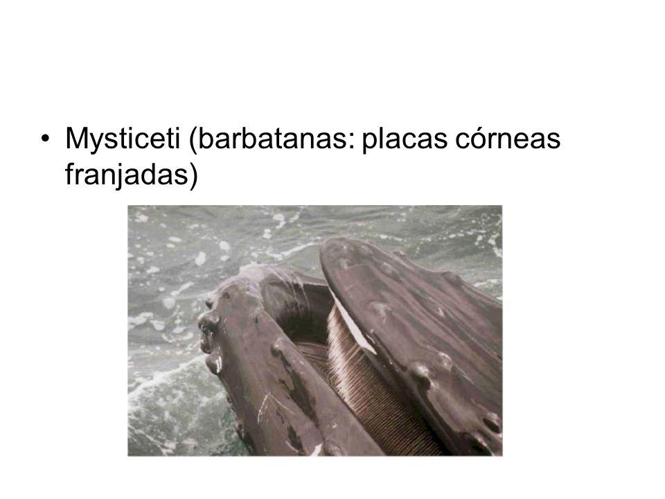 Mysticeti (barbatanas: placas córneas franjadas)