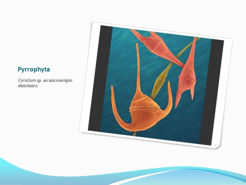 Pyrrophyta Ceratium sp. ao microscópio eletrônico