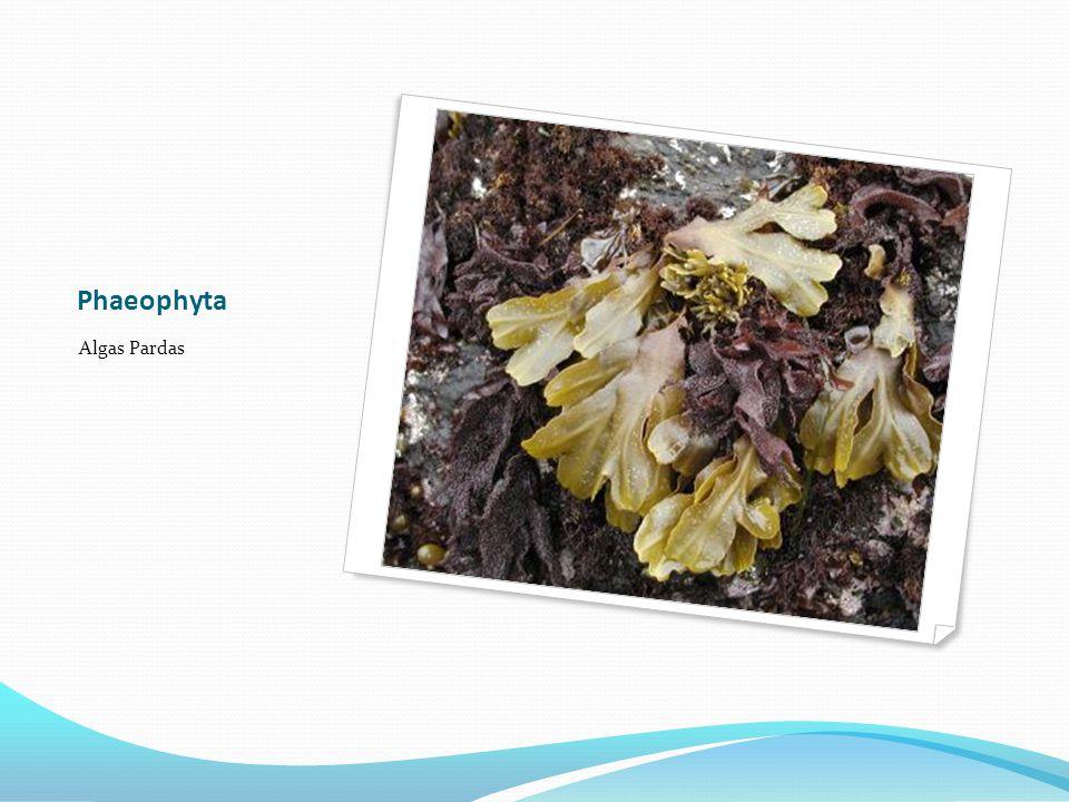Phaeophyta Algas Pardas