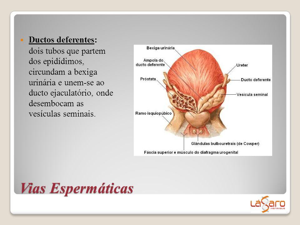 Ductos deferentes: dois tubos que partem dos epidídimos, circundam a bexiga urinária e unem-se ao ducto ejaculatório, onde desembocam as vesículas seminais.
