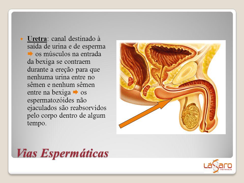 Uretra: canal destinado à saída de urina e de esperma  os músculos na entrada da bexiga se contraem durante a ereção para que nenhuma urina entre no sêmen e nenhum sêmen entre na bexiga  os espermatozóides não ejaculados são reabsorvidos pelo corpo dentro de algum tempo.