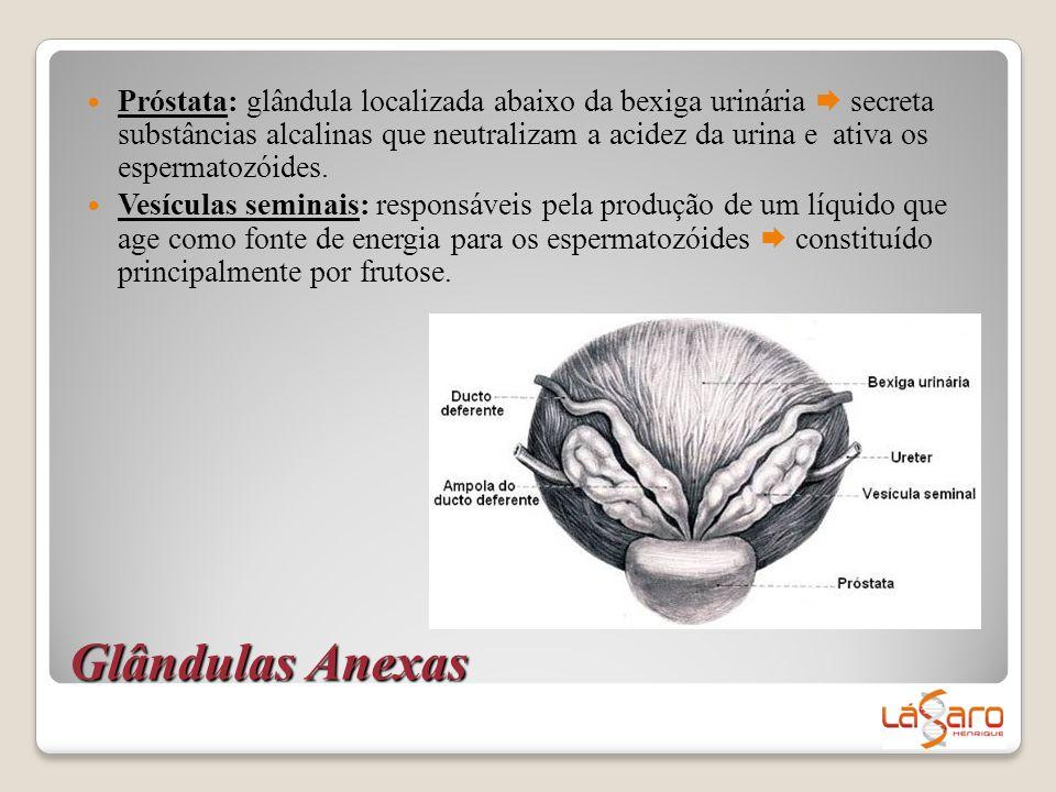 Próstata: glândula localizada abaixo da bexiga urinária  secreta substâncias alcalinas que neutralizam a acidez da urina e ativa os espermatozóides.