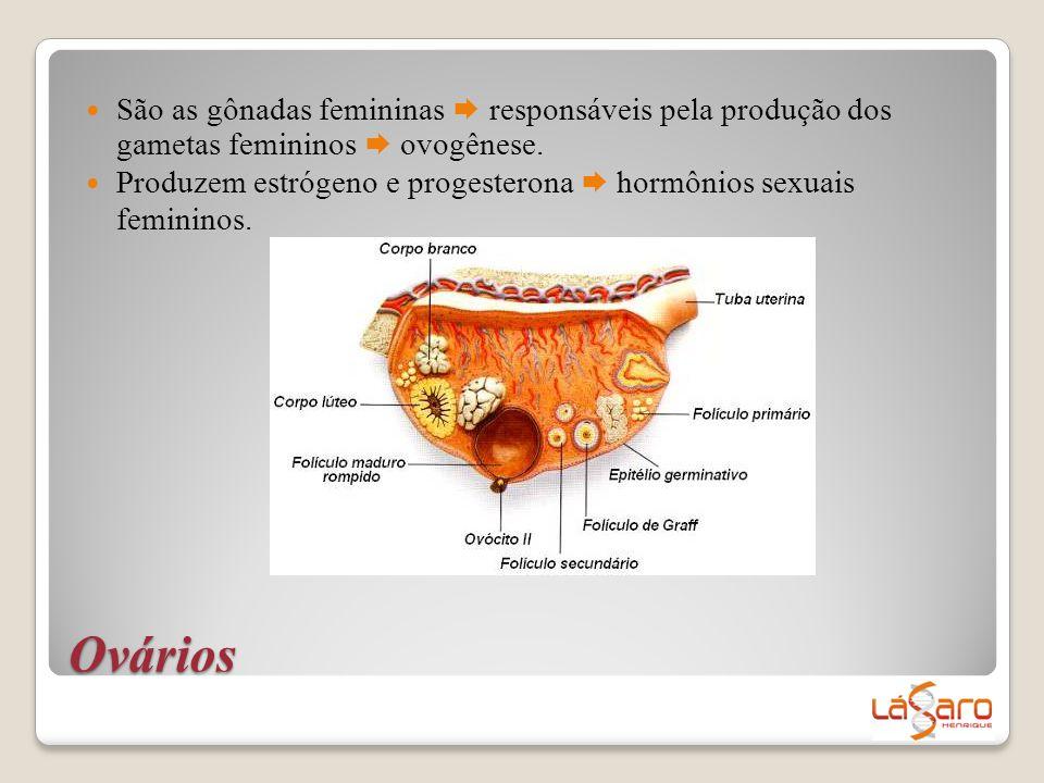 São as gônadas femininas  responsáveis pela produção dos gametas femininos  ovogênese.