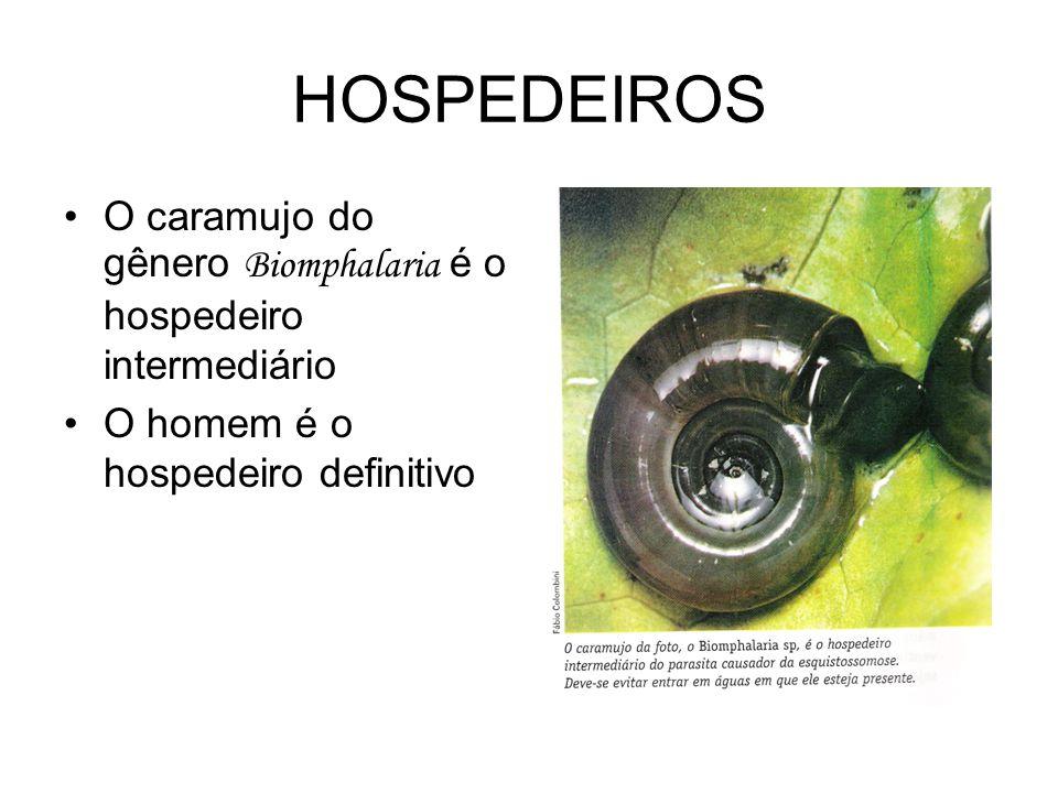 HOSPEDEIROS O caramujo do gênero Biomphalaria é o hospedeiro intermediário.