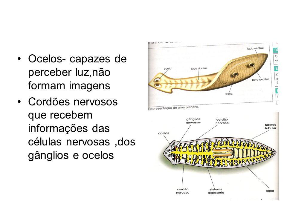 Ocelos- capazes de perceber luz,não formam imagens