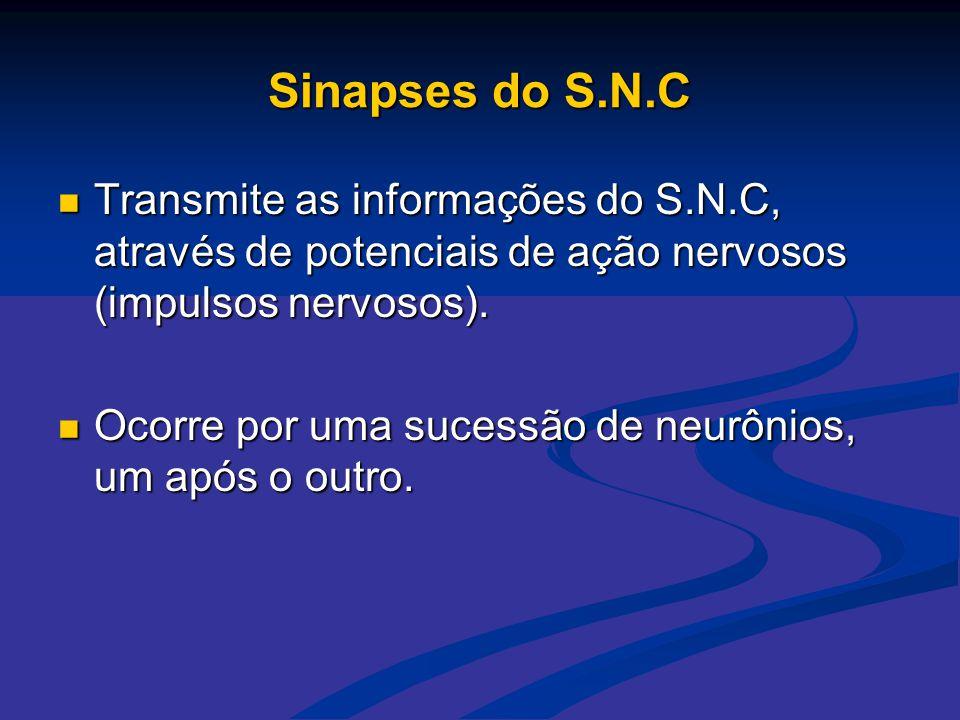 Sinapses do S.N.C Transmite as informações do S.N.C, através de potenciais de ação nervosos (impulsos nervosos).