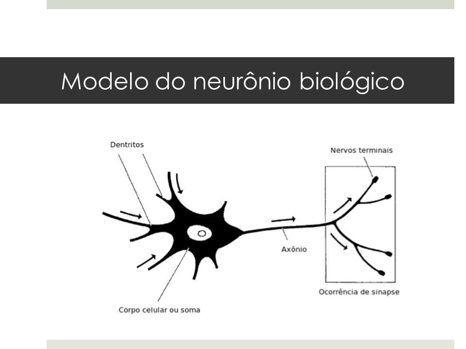 Modelo do neurônio biológico