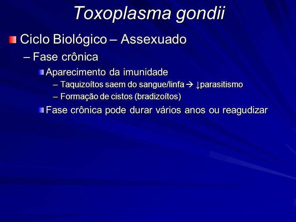 Toxoplasma gondii Ciclo Biológico – Assexuado Fase crônica