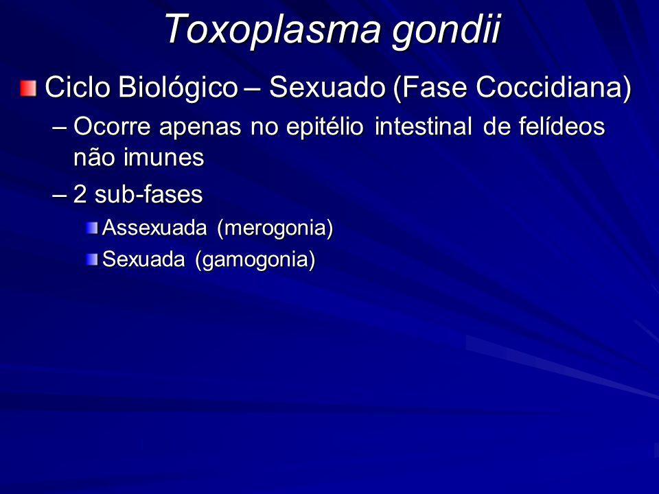 Toxoplasma gondii Ciclo Biológico – Sexuado (Fase Coccidiana)